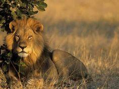 Lion, Panthera Leo, Chobe National Park, Savuti, Botswana, Africa Fotografisk trykk