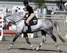 Raffaello Hanoverian breeding stallion shown in hunter, dressage and showjumping