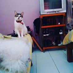 ・ nose si disfrutan la musica o esta como.. ''calla eso humana..'' 🐱🐩💜🐾🐶 #gato #perro #mascota #morseando #cat #dog #poodle #pet #ペット #愛犬 #犬 #猫