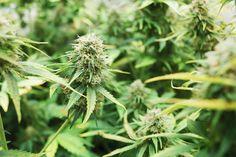Marihuana vs. alcohol: ¿cuál es la peor droga?