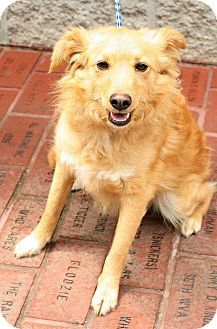 Lucky Sheltie Retriever Mix Shetland Sheepdog Golden Retriever
