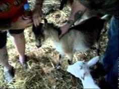 Goat Bloat.mpg