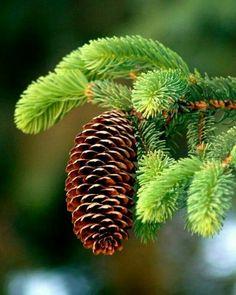 Nice pinecone
