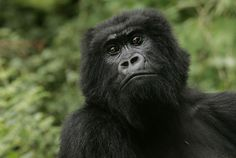 Honolulu (AP) -- The world's largest living primate has been listed as…