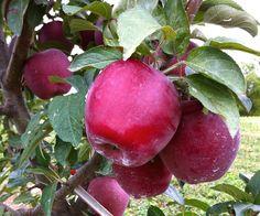 Ripe Apples ready for harvest | #starkbros