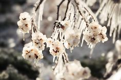 www.frostedproductions.com | #utah #photographer #natural #light #photography #spring #blossoms #icicles