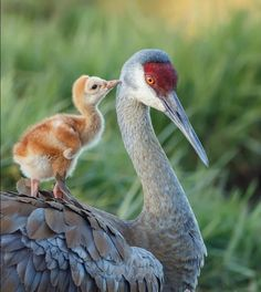 Sandhill crane chick hanging out on top of mom Animals And Pets, Baby Animals, Funny Animals, Cute Animals, Beautiful Birds, Animals Beautiful, Cute Birds, Little Birds, Wild Birds