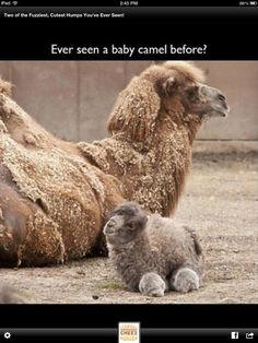 Look at this cute little camel the only thing I'm questioning is how can that baby camel walk ???? ❤