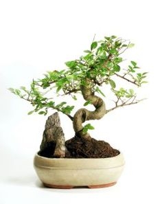 Growing Bonsai: How to Grow Your Own Bonsai Tree. Now where to get one???