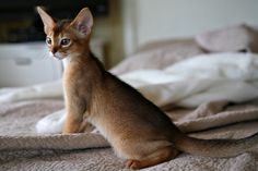 Abyssinian Cat Personality | Peetie, when he was still my little KitKat