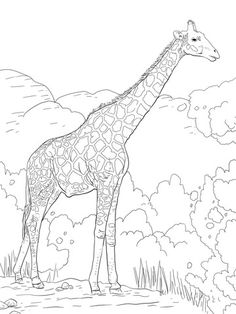 the angolan giraffe or the namibian giraffe coloring page from giraffes category select from 27606 printable crafts of cartoons nature animals