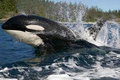Killer whale decline