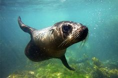 Lonely Planet <br/> 'Top 10 Best Marine Encounter - Worldwide' Seal swim New Zealand Kaikoura Bus Travel, Travel And Tourism, Natural Curiosities, Sustainable Tourism, Lonely Planet, Snorkeling, Animal Pictures, Underwater, Trip Advisor