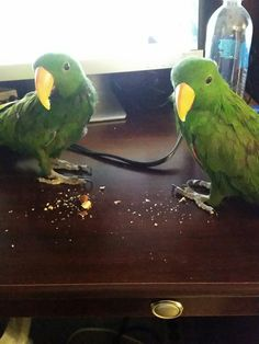 Marko and Ollie eating almonds at my desk.  Male Eclectus Parrots