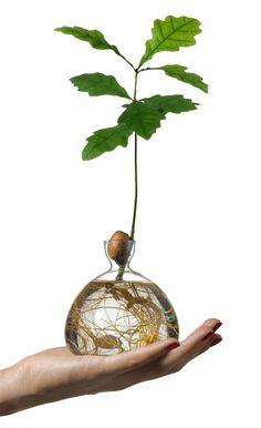Acorn Vase - Ilex Studio London award winning design vase grow oak tree in water Design Vase, Avocado Tree, Decoration Plante, Tree Roots, Trendy Tree, Growing Tree, Tree Designs, Acorn, Indoor Plants