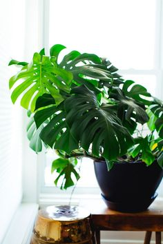 Tips & tricks for caring for popular indoor plants: from monstera deliciosa's and philodendrons, to succulents, jades, pothos + ZZ plants. Black thumb-proof.