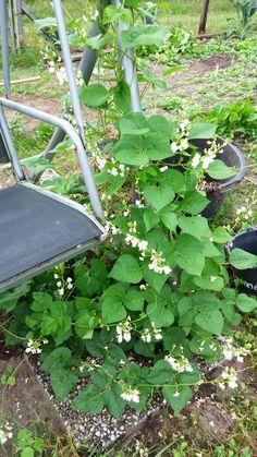 Droogboon Spaanse Witte. Dit is dus een plant van 1 boon. Aan het eind van het seizoen zat de plant volledig om de poot van de schommelstoel heen.
