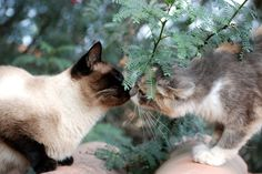 Pin for Later: Pucker Up: Cute Pictures of Animals Kissing Kitty Kiss Here are a few kitties sharing a quick kiss. Source: Flickr user kikifotosbolivien