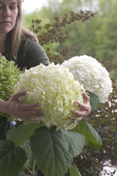 Buy sevenbark ( syn Incrediball ) Hydrangea arborescens 'Strong Annabelle = 'Abetwo'': Delivery by Crocus Beautiful Flowers, White Flowers, Annabelle Hydrangea, Hydrangea Arborescens, Incrediball Hydrangea, Container Gardening Flowers, Trees To Plant, Flower Garden, Shade Perennials
