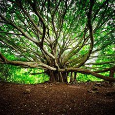 Banyan Tree seen along the Pipiwai Trial in Haleakala National Park  Maui Hawaii