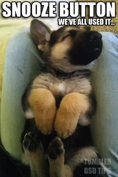 snooze #german #shepherd