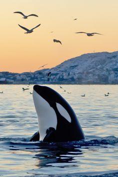 Orcas, Beautiful Sea Creatures, Animals Beautiful, Underwater Animals, Ocean Creatures, Cute Little Animals, Killer Whales, Cute Animal Pictures, Nature Animals