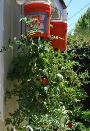 Growing Tomatoes In Pots: How to Grow Tomatoes Upside Down