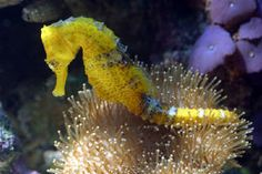 ~seahorse~ there is a great exhibit at Monterey Bay Aquarium
