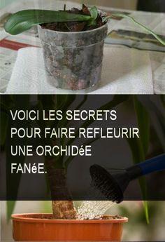 Voici les secrets pour faire refleurir une orchidée fanée. #faire #secret #secrets #orchidee #refleurir #fanee Garden Online, Orchid Care, Ikebana, Geraniums, Permaculture, Horticulture, Bonsai, Voici, Planter Pots