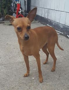 """Meet Missy, an adoptable Chihuahua looking for a forever home.  I am a 2 year old Chihuahua mix. I was just recently surrendered to the shelter, along with my brother Dexter, because my owner had """"no time"""" for me. Now I am in need of a family and home to call my own. NYC New Beginning Animal Rescue Bronx, NY"""