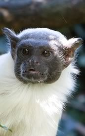The Pied tamarin (Saguinus bicolor) is an endangered primate species found in a restricted area in the Brazilian Amazon Rainforest