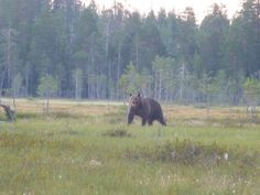 Brown bear exists in many of the Certified PAN Parks (although this was photographed from a hide south of Oulanka)