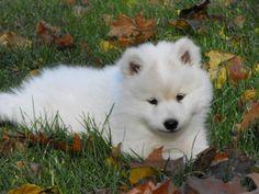 Cachorro samoyedo buscando (precio a tratar), a 3 meses, el nmero de, 985 809 760 - Huancayo - Animales