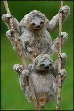 Animal Photography : Three-toed Sloths by Bratescu Cute Baby Sloths, Cute Sloth, Cute Baby Animals, Funny Animals, Baby Otters, Nature Animals, Animals And Pets, Easy Animals, Wild Animals