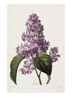 Lilacs Giclee Print by Pierre Joseph Redoute at Art.com