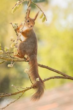 looking back - red squirrel standing on branch  with willow flowers
