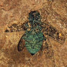 This is a 47-million year old irridescent jewel beetle fossil from the Messel Pit in Germany.
