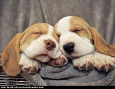 Two cute Beagle puppies with long floppy ears snoozin' in a basket