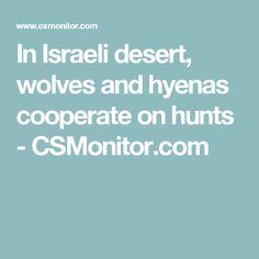 In Israeli desert, wolves and hyenas cooperate on hunts - CSMonitor.com