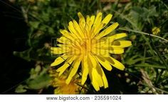 Flower Dandelion, Bitter Chicory, Crown Of Friar #flores #flowers #photostock  #stockphoto