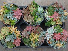 Las plantas suculentas son diferentes a todas las demás. Últimamente se han puesto muy de moda por su facilidad de cultivo y sus cualidades tanto estéticas como de resistencia. Además se pueden cul…