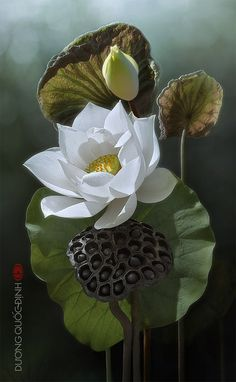 Beautiful White Lotus Flower!