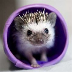 I so want a baby Pygmy hedgehog ;) albino? Name it sonic, or Arnold? Are they even legal in CA?