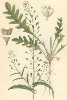 Bolsa-do-Pastor (Capsella bursa-pastoris L.)
