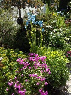 Sommerfloks og blå valmuesøster / Phlox drummondii and meconopsis betonicifolia / By IJ 14.6.14