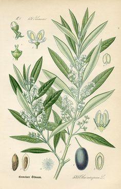 Olive (Olea europaea), Flora of Germany, (Germany, 1886) botanical print