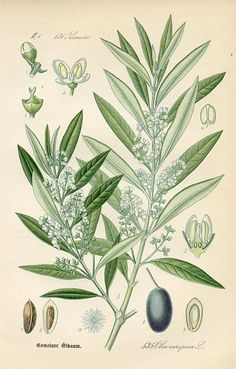Olive (Olea europaea), Flora of Germany, (Germany, 1886) botanical print