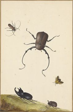 Four Beetles and a Flying Stink Bug, 1715, Nicolaas Struyck, Dutch, pen and black ink, watercolor, gouache, gold paint with white gouache heightening, and pen and brown iron-gall ink. J. Paul Getty Museum. #2h