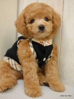 【そんな目で見つめられると・・・絶対可愛いアプリコットのプードル仔犬】 の画像|和歌山のペットショップで働くブリーダー社長と店長のblog(ブログ) レッドとアプリコットとブラックのトイプードルのブリーダーです。