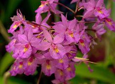 Barkeria cyclotella x Bardendrum Terusan 'Pink Beauty'